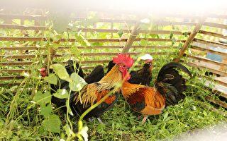 推广养鸡除草 竹市示范基地喜获万颗有机鲜蛋