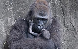 痛心! 極度瀕危大猩猩寶寶出生僅六天夭折
