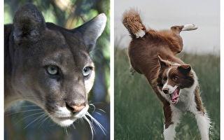 加拿大男孩遭美洲獅襲擊 牧羊犬奮勇救人