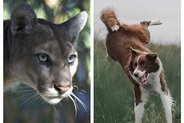 加拿大男孩遭美洲狮袭击 牧羊犬奋勇救人