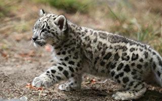 美國動物園小雪豹首度亮相 像貓一樣可愛