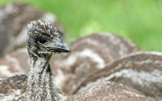 維州禽流感疫情惡化 8國暫停進口維州產品