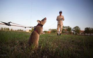 嗅出几十枚地雷 非洲巨鼠获颁动物勇气奖