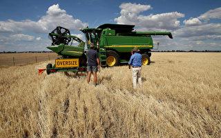 儘管遭遇中共報復與乾旱 澳谷農穫驚人豐收
