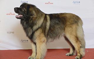 """""""温和巨人"""" 一岁狗狗体型硕大常被误认是熊"""
