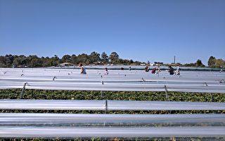 西澳政府百萬澳元計劃 幫農場招外勞