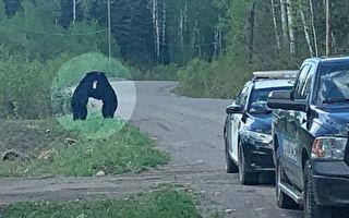 兩隻黑熊路邊約會「擁抱」 加國警察護航