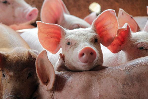 布鲁氏菌病(brucellosis)又称为布氏杆菌病、波状热,是人畜共患传染病。示意图。(Shutterstock)