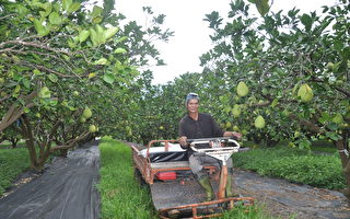 花莲瑞穗文旦柚挂保证 引进糖度检测选好果