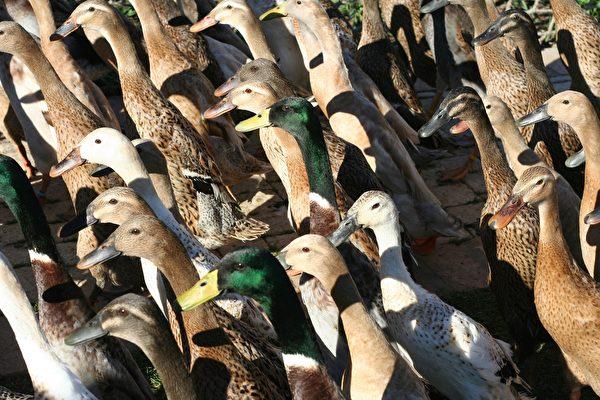 泰國上萬隻鴨子衝入稻田吃害蟲 場面壯觀