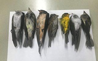 美國多州或數百萬候鳥離奇死亡 原因待查