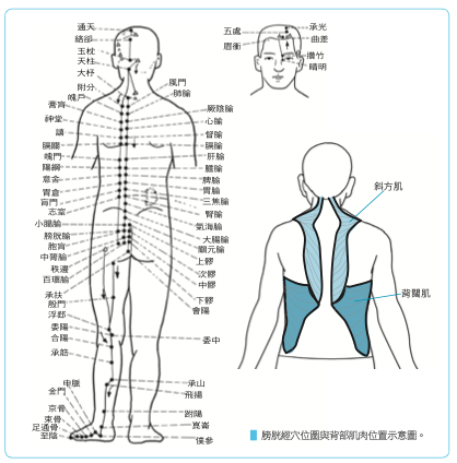 应针对扩胸所需要的背后肌肉进行锻炼,如斜方肌、背阔肌和菱形肌。(商周出版提供)