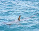 """研究发现鲨鱼利用地球磁场当""""GPS""""来迁徙"""