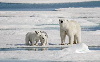 拍到小北极熊嚼食塑胶袋 瑞典摄影师心碎了