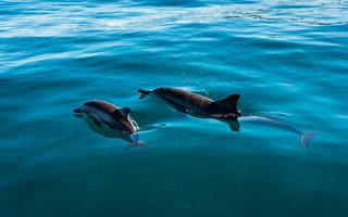 海豚妈妈绝食多日 在海面上轻推宝宝的尸体