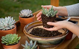維持完美的蓮座外形 擬石蓮屬的栽培方法