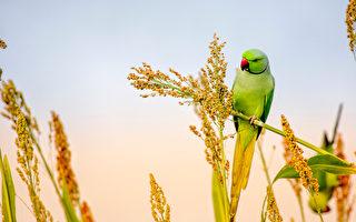 印度農民以半英畝土地種農作物養野鳥