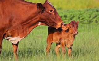 刚出生小牛受困带电围栏外 母牛向人类求救