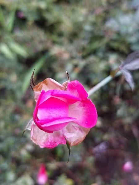 麥立:玫瑰三願