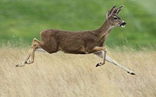 误闯悉尼受重伤 迷路野鹿被安乐死