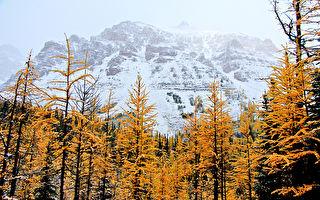 雪中秋韻──洛基山之落葉松谷