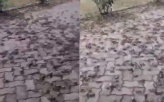 【视频】20年罕见 江苏常熟成群毛蟹爬上岸