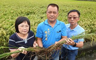 分秘夜蛾大举入侵 关山稻田受害逾百公顷