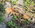 屏东内埔乡出现首例鼬獾验出狂犬病