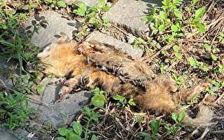 屏東內埔鄉出現首例鼬獾驗出狂犬病