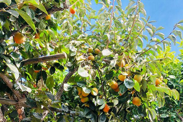 柿子脫澀變軟甜新方法