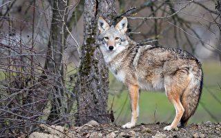 土狼频袭儿童 Arlington警吁居民防范