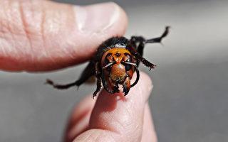华盛顿州发现亚洲巨型杀人蜂巢 美国首例