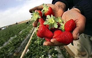 没有足够人手采摘 1/3草莓将烂在地里