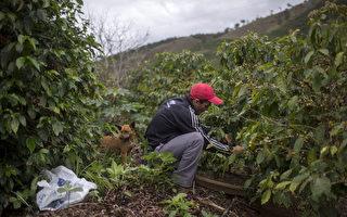 缺乏采摘工 维州农户自毁价值2万蔬菜