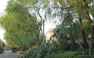 大风过后 尔湾市清理倒落大树枝干