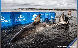"""""""海洋女王""""加拿大捕获50岁巨型大白鲨"""