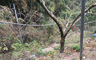 台湾黑熊遭山猪吊 吁农民改采电围网
