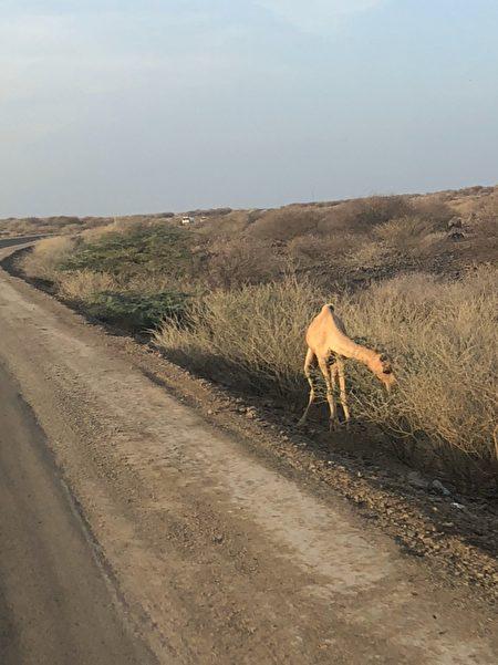 非洲的野駱駝。(受訪者提供)