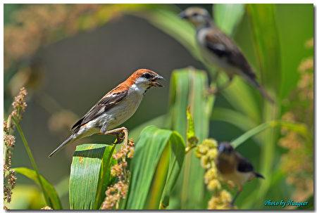 山麻雀公鳥吃小米。