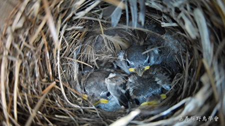 公私合作讓山麻雀保育有成