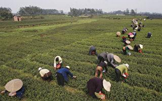天灾与疫情双重击 全球茶叶价格飙涨