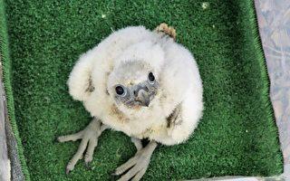 墨市高楼雏鹰出生 鸟类爱好者欢呼