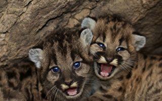 野火中救出三只小美洲狮 美动物园精心照护