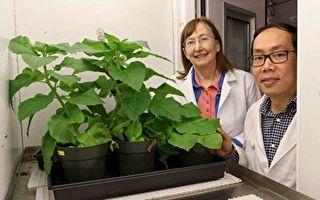 大肠杆菌如何提升光合作用效率?