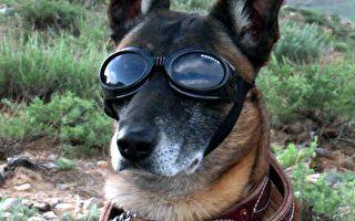 远距离指挥 美军研发军犬专用AR护目镜