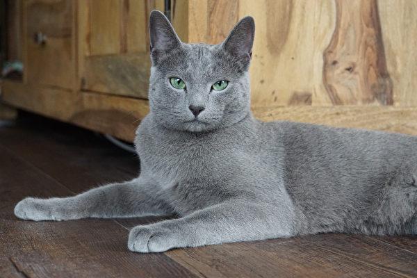 猫, 宠物, 俄罗斯蓝猫