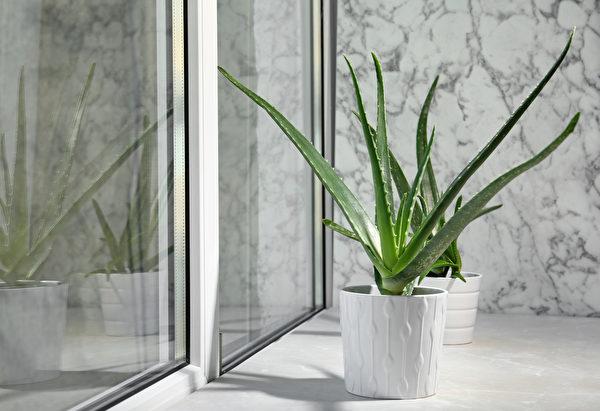 植物, 窗台, 非洲紫羅蘭, 柏金蔓綠絨, 擬石蓮花屬, 迷迭香, 蘆薈