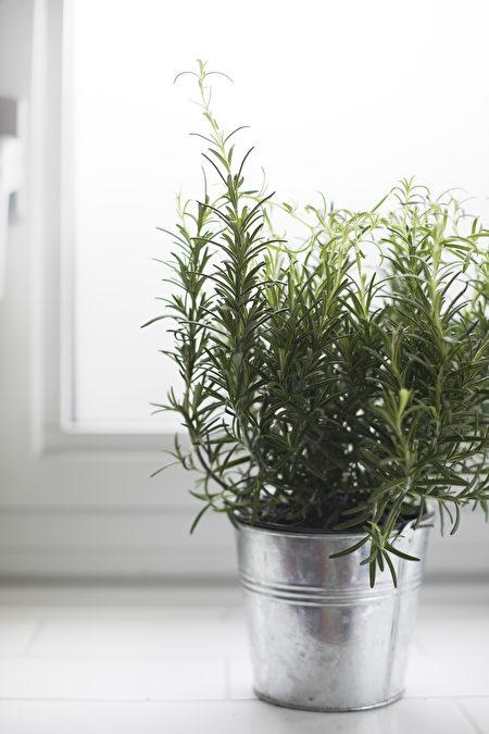 植物, 窗台, 非洲紫羅蘭, 柏金蔓綠絨, 擬石蓮花屬, 迷迭香
