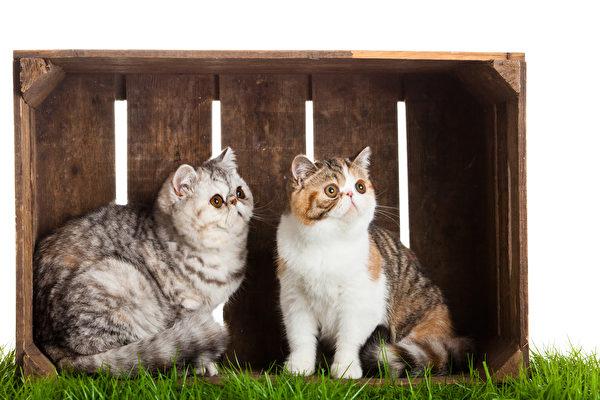 猫, 宠物, 俄罗斯蓝猫, 波斯猫, 英国短毛猫, 异国短毛猫