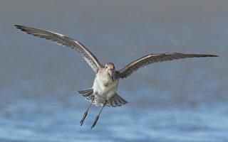 11天連飛1.2萬公里 幾百克重小鳥創世界紀錄